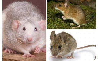Cấu trúc chuột