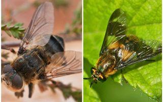 Sự khác biệt giữa gadfly và mù