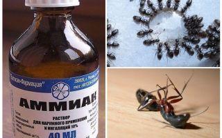 Amoniac từ kiến và rệp