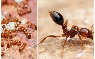 Làm thế nào để loại bỏ những con kiến nhỏ màu đỏ trong một căn hộ