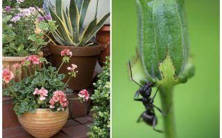 Làm thế nào để loại bỏ kiến từ một chậu hoa