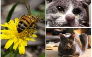 Phải làm gì nếu một con mèo bị ong cắn