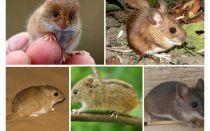 Các loại và loại chuột