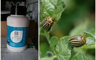 Biện pháp khắc phục cho bọ khoai tây Colorado Boreas