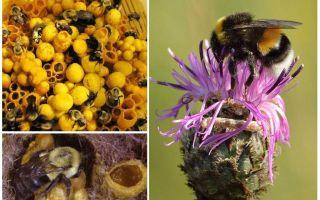 Mật ong có ong vò
