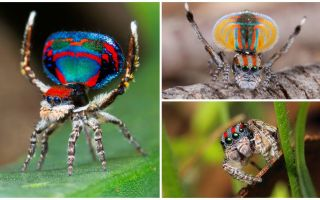 Mô tả và hình ảnh của con công nhện