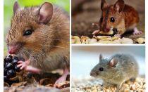 Những con chuột ăn gì