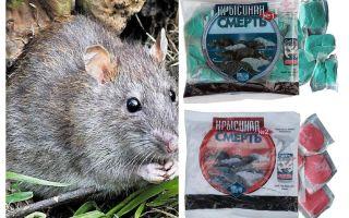 Độc tử vong chuột
