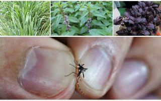 Những gì thực vật đẩy lùi muỗi: cỏ, cây và hoa