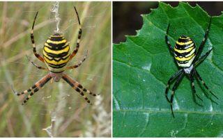 Cò nhện với sọc vàng ở mặt sau