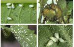 Phương pháp giao dịch với ruồi trắng trên cà chua trong nhà kính