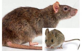 Sự khác nhau giữa chuột và chuột là gì?