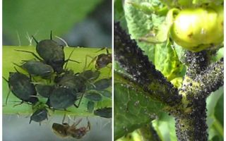 Làm thế nào để đối phó với rệp đen trên cà chua và dưa chuột