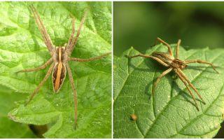 Mô tả và hình ảnh của nhện của vùng Saratov