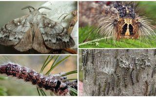 Mô tả và hình ảnh của một con sâu bướm và bướm của con tằm Siberia