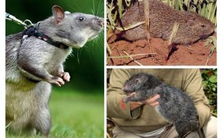 Những con chuột lớn nhất trên thế giới