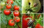 Cách chế biến cà chua từ bọ khoai tây Colorado