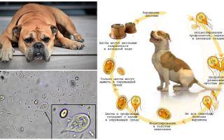 Các triệu chứng và điều trị Giardia ở chó