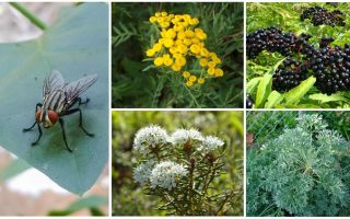 Mùi ruồi và muỗi sợ là gì