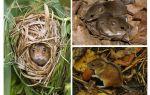 Chuột rừng