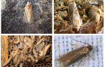 Wax moth - ứng dụng trong y học cổ truyền