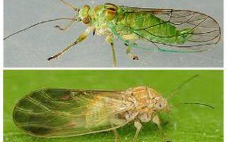 Làm thế nào để loại bỏ bọ chét thảo dược trong nhà