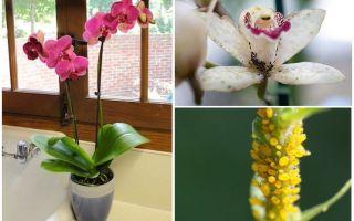 Làm thế nào để đối phó với rệp trên hoa lan