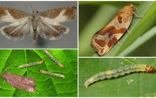 Làm thế nào để đối phó với leafworm trên cây ăn quả