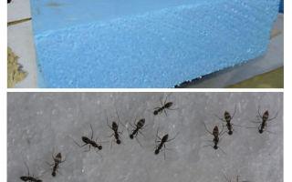 Kiến, penoplex và bọt