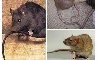 Tại sao chuột đuôi