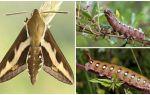 Mô tả và hình ảnh của con sâu bướm sâu bướm