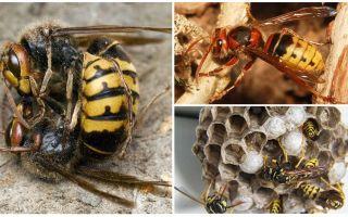 Làm thế nào để đối phó với hornets