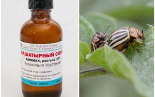 Amoniac chống lại bọ khoai tây Colorado