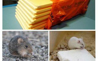 Cho dù chuột đang ăn penoplex