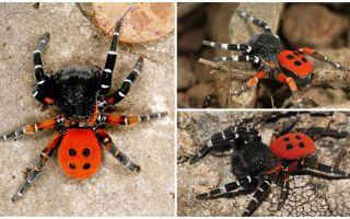 Mô tả và hình ảnh của nhện ở Crimea
