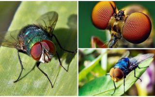 Có bao nhiêu khung hình trên giây mà một con ruồi nhìn thấy và có bao nhiêu con mắt