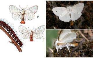 Mô tả và hình ảnh bướm và sâu bướm