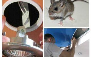 Làm thế nào để thoát khỏi những con chuột trong trần căng