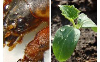 Làm thế nào để bảo vệ cây giống từ Medvedka