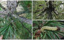 Làm thế nào và những gì để xử lý thông từ sâu bướm