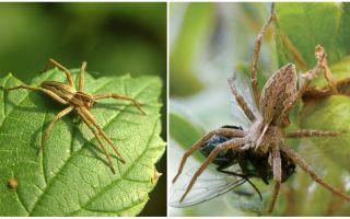 Có bao nhiêu nhện bình thường sống trong một căn hộ và trong tự nhiên
