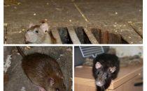 Làm thế nào để bắt một con chuột trong nhà