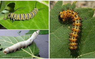Mô tả sâu bướm, thức ăn và cấu trúc của chúng