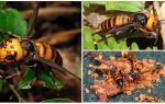 Great Hornets: Giant Asian và Black Hornets