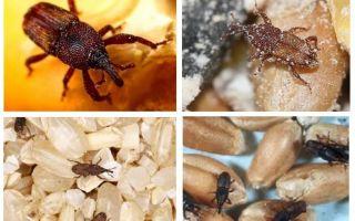 Làm thế nào để đối phó với weevil trong nhà bếp