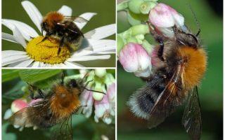 Mô tả và hình ảnh của ong thành phố