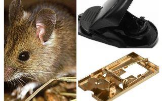 Làm thế nào để đặt một cái bẫy chuột