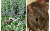 Thuốc dân gian cho chuột