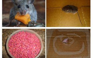 Cách đưa chuột ra khỏi gara