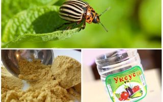 Mù tạt và giấm chống lại bọ khoai tây Colorado: tỷ lệ và đánh giá